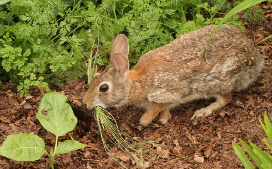 How To Keep Rabbits Out Of Garden Without A Fence